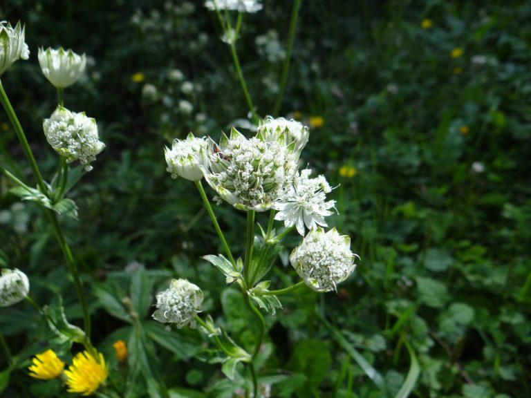 Petite astrante – Astrantia minor