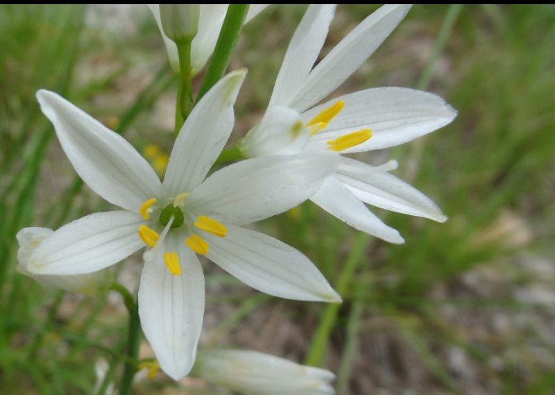 Phalangère à fleurs de lis – Anthericum liliago