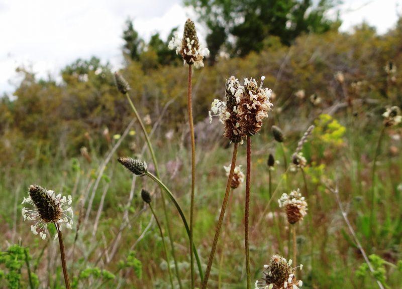 Plantain lancéolé – Plantago lanceolata