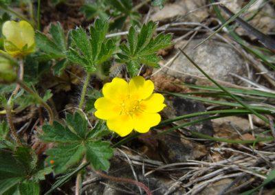 Potentille de printemps – Potentilla neumanniana