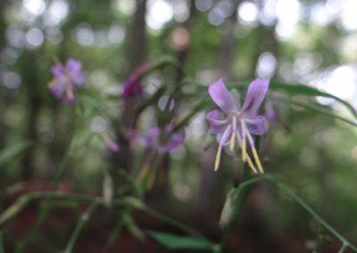 Prénanthe pourpre – Prenanthes purpurea