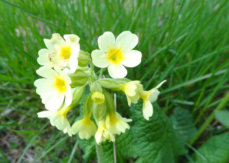 Primevère élevée – Primula elatior subsp elatior