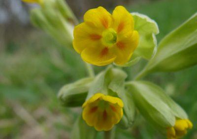 Primevère officinale – Coucou – Primula veris