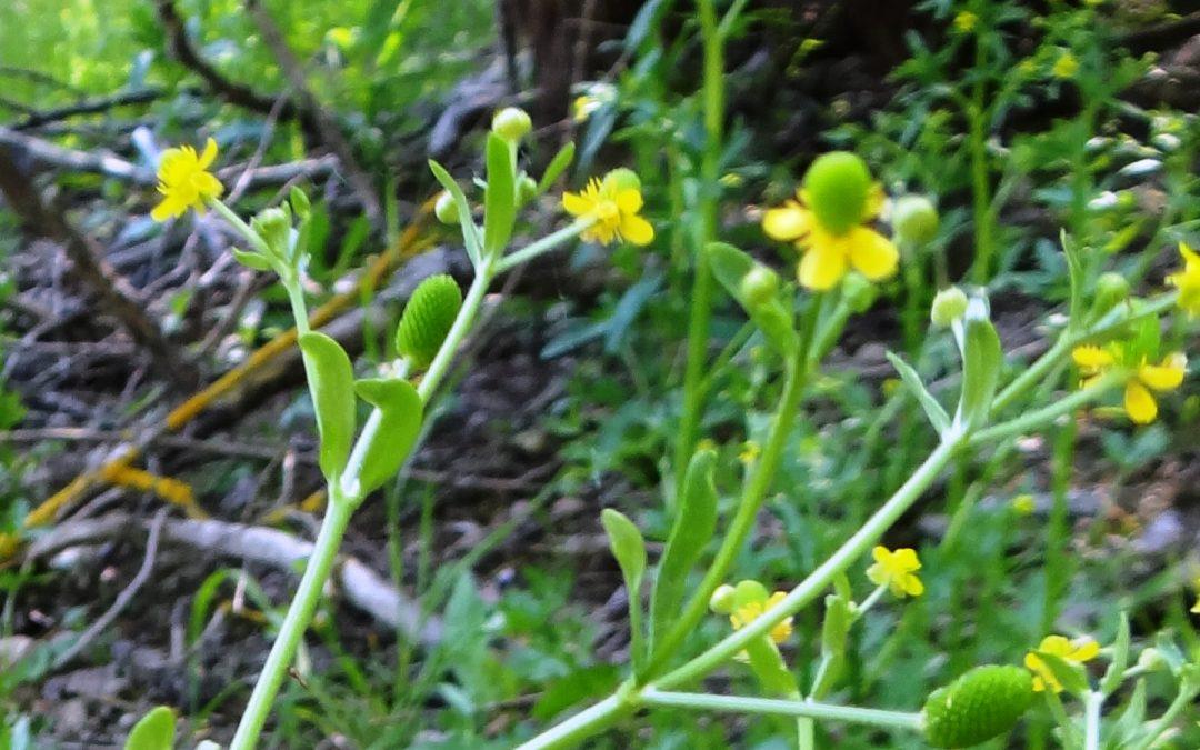 Renoncule à feuilles d'ophioglosse – Ranunculus ophioglossifolius