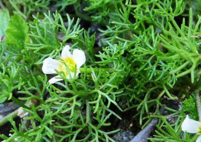 Renoncule aquatique – Ranunculus aquatilis