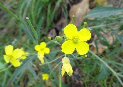 Roquette jaune – Diplotaxis tenuifolia