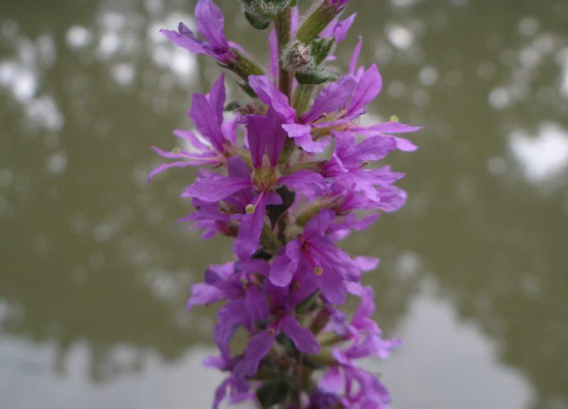 Salicaire commune – Lythrum salicaria