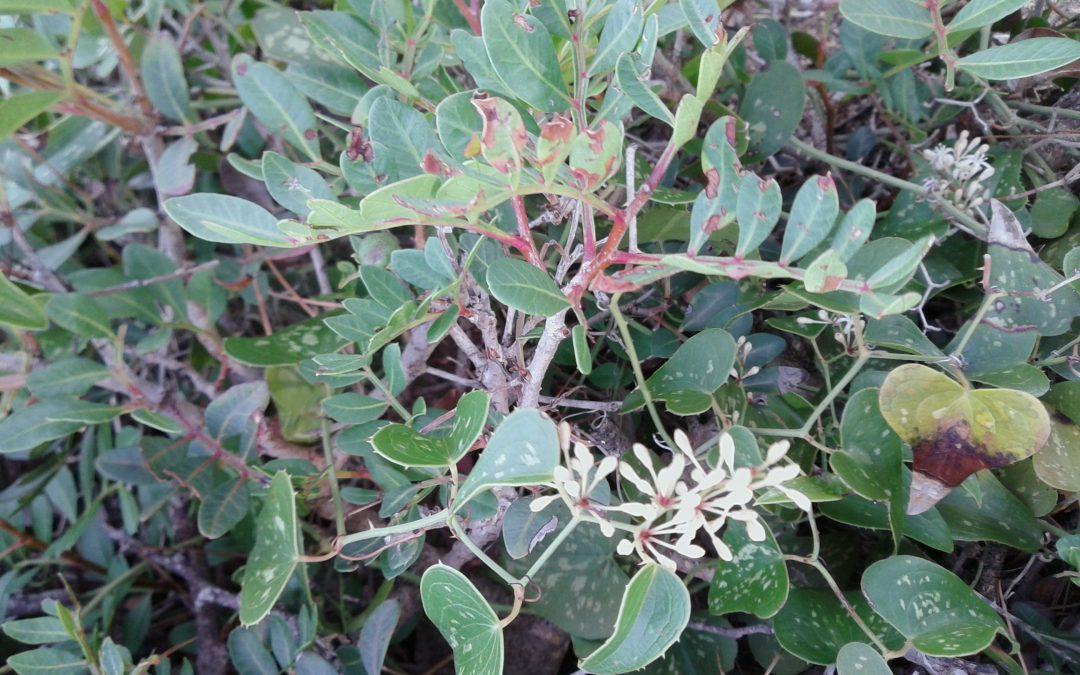 Salsepareille – Smilax aspera