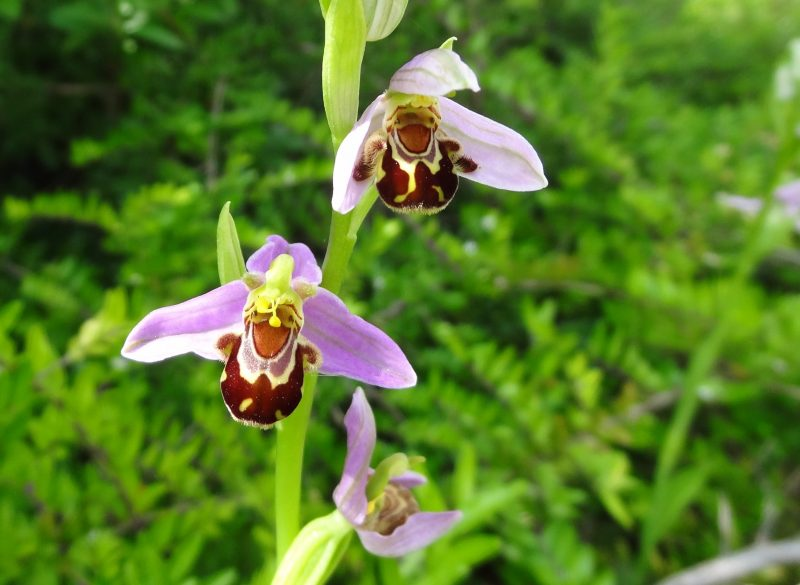 Ophrys abeille – Ophrys apifera