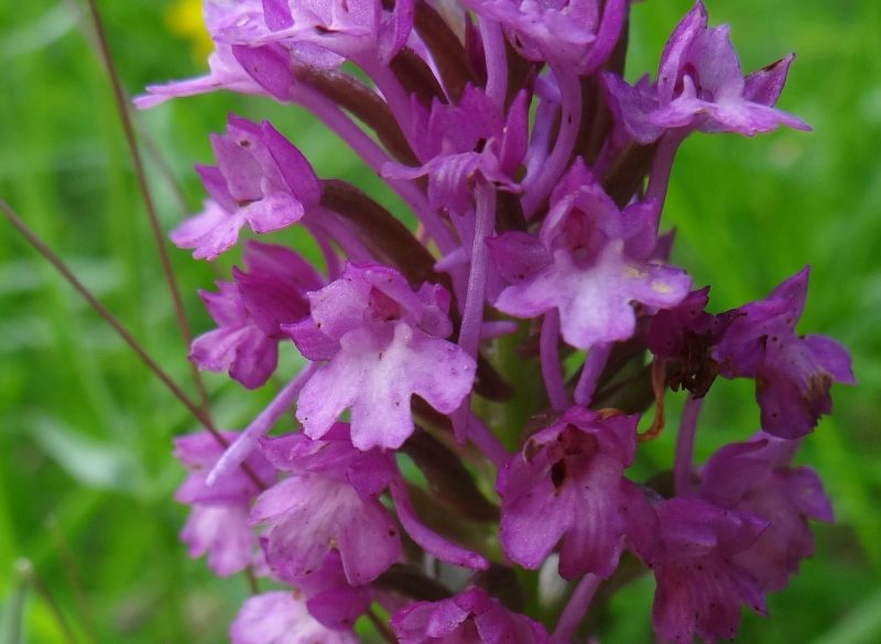 Orchis mâle – Orchis mascula