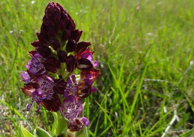 Orchis pourpre – Orchis purpurea