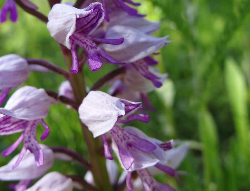 Orchis singe – Orchis simia