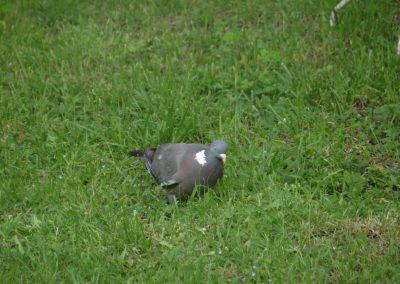 Pigeon ramier ou Palombe