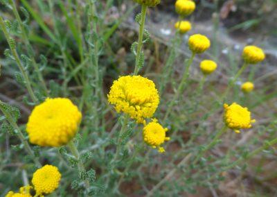 Santoline – Santolina chamaecyparissus