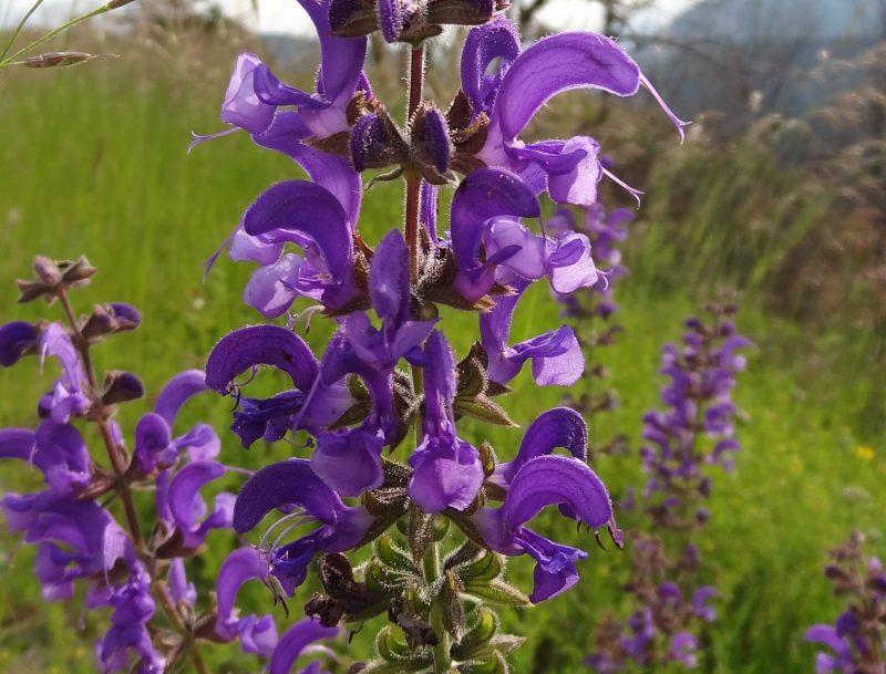 Sauge des prés- Salvia pratensis
