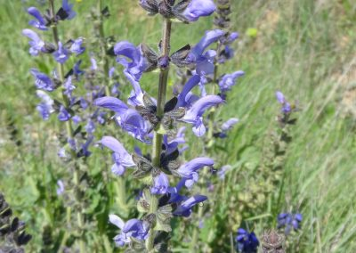 Sauge fausse verveine – Salvia verbenaca