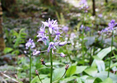 Scille lis jacinthe – Tractema lilio-hyacinthus