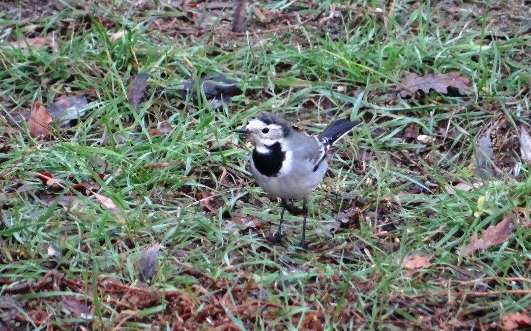 Bergeronnette grise – Motacilla alba