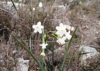 Narcisse douteux -Narcissus dubius